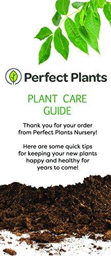 ANN Magnolia Tree - Size: 5 Gallon, Live Plant, Includes Special Blend Fertilizer & Planting Guide by PERFECT PLANTS (Image #7)