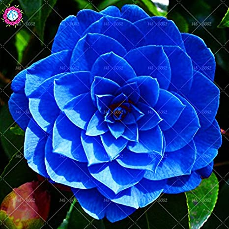 Amazon Com Agrobits 10pcs Bag Bonsai Camellia Flower Rare Blue