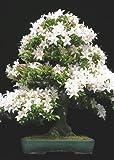 Tropica - Bonsai - senape nera (Prunus mahalep) - 30 semi