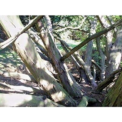 15 Hybrid Spreading Yew Seeds #RDR02 : Garden & Outdoor
