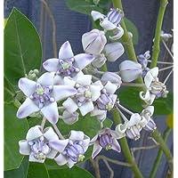 15 Semillas | Calotropis gigantea púrpura | Algodoncillo gigante | mariposas Amor