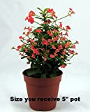 Red Crown of Thorns Plant - RARE - Euphorbia - 5 Pot""