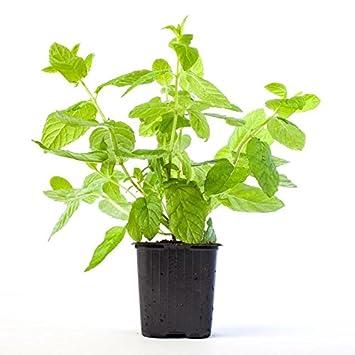menta planta natural pequeña con maceta planta aromática y