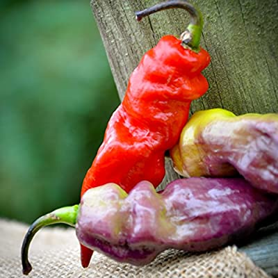 Yaki Blue Purple Ghost Pepper Hot Pepper Premium Seed Packet + More