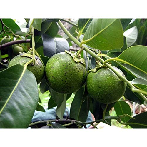 Black Sapote Tropical Fruit Trees 3 Feet Height in 3 Gallon Pot #BS1 by iniloplant (Image #3)