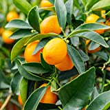 "Van Zyverden 83916 Citrus Tree Nagami Kumquat 1 Plant, 4"" x 4"" x 9"" Pot - H 18-24"" - 12-18 Months Old, Whitish"