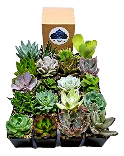 Fat Plants San Diego Premium Succulent Plant Variety Package. Live Indoor Succulents Rooted in Soil in a Plastic Growers Pot (20)