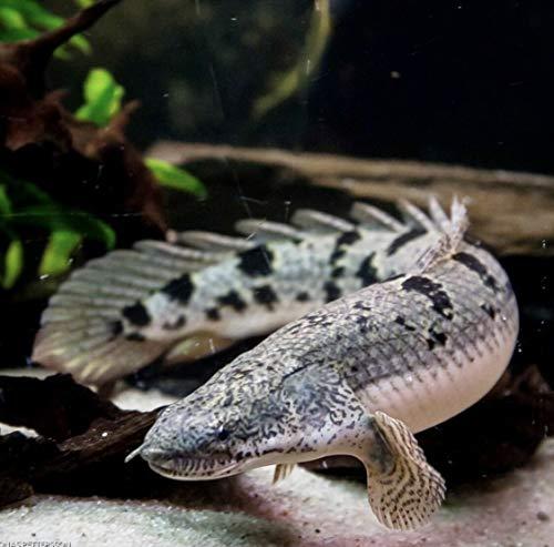- Siam Live Aquarium 2 Pack Polypterus Delhezi, Bichir, Armored, Banded, Tiger, Barred, Monster, Rare