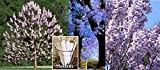 3 Pack Empress Tree Seeds 240 Seeds Upc 650327337749 - +3 Plant Markers Gorgeous spring flowers smell like lavender