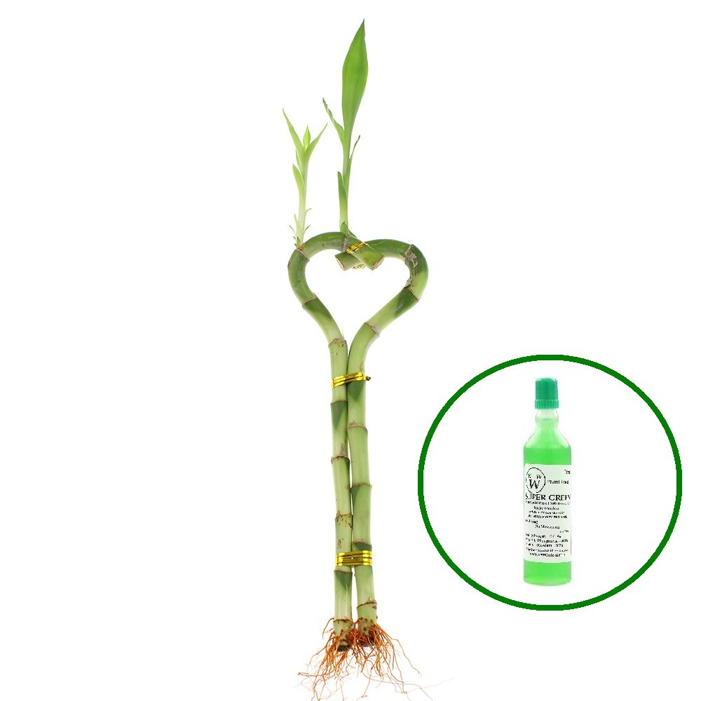 NW Wholesaler - 8'' Heart Shaped Lucky Bamboo Arrangement with 1 Free Bottle of Bamboo Fertilizer (1) by NW Wholesaler