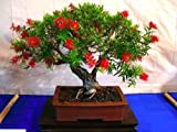 CRIMSON BOTTLEBRUSH - 300+ seeds - Callistemon citrinus - Tree Bonsai