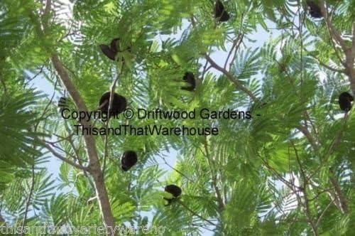 Enterolobium cyclocarpum Elephant Ear Pod Tree Seeds Fast Grower Houseplant 10 Seeds