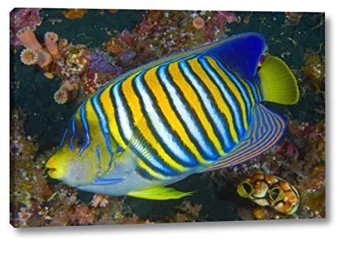 (Regal Angelfish, Raja Ampat, Indonesia by Jones Shimlock - 16