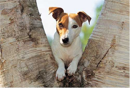 Jack Russell Terrier 1000 Piece Jigsaw Puzzle ()