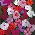 Impatiens Accent Series Mix Annual Seeds