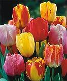 6 Bulbs - Tulip Darwin hybrid mix