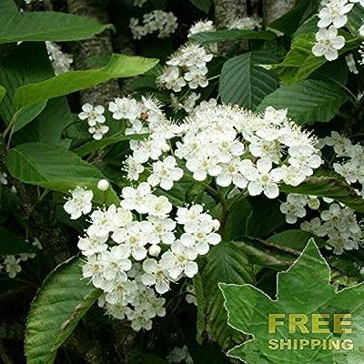 Korean Mountain ASH Sorbus Alnifolia - 30 Seeds. : Garden & Outdoor