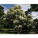 50x Bentham's Cornel Tree Seeds (Cornus Capitata)