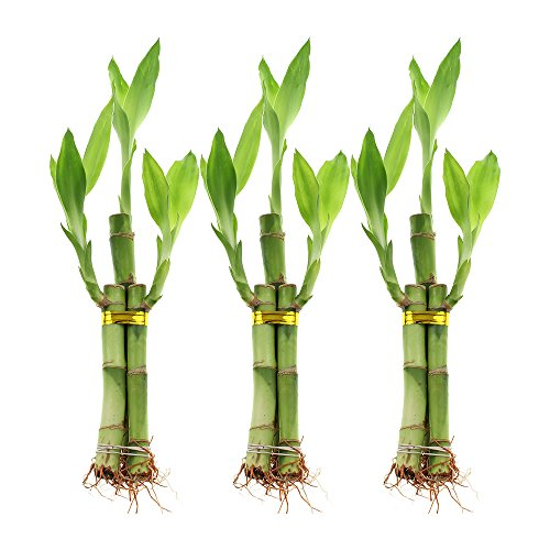 Plants that don't need sunlight -Lucky Bamboo