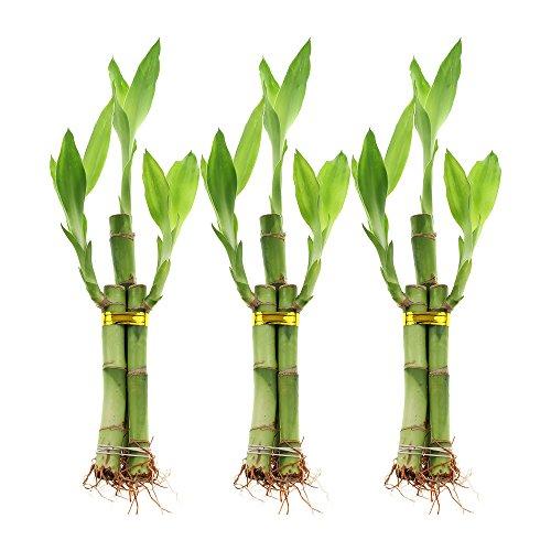 NW Wholesaler - 3 Stalk Lucky Bamboo Arrangement Bundle of 3 ()
