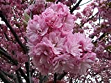 20pcs Japanese Sakura Flowering Cherry Flower Seeds,Pink Cloud Oriental Sweet Prunus Serrulata Tree Seeds