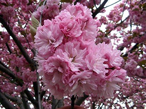 (20pcs Japanese Sakura Flowering Cherry Flower Seeds,Pink Cloud Oriental Sweet Prunus Serrulata Tree Seeds)
