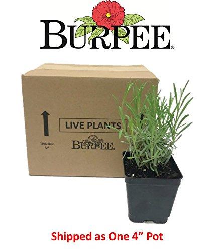 Burpee Perennial Lavender 'Phenomenal', 4'' pots, 1 plant, Fragrant, Evergreen, Pollinator Friendly by Burpee (Image #3)