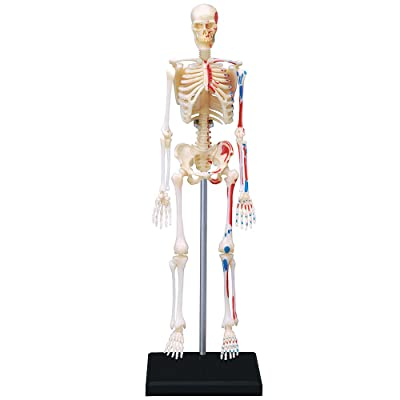 4D VISIONS MODELS Visible Human Skeleton Anatomy Kit, One Color: Toys & Games
