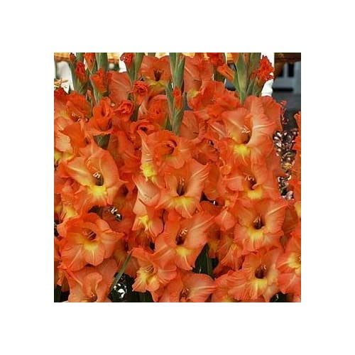 (20) Attractive Flowering Gladiolus, OLYMPIC FLAME,Gladioli Bulbs, Plants, Perennial Root free shipping