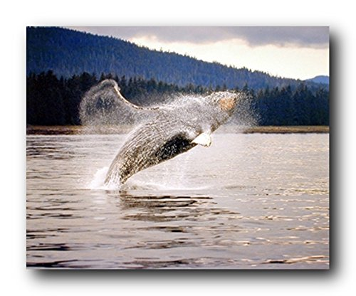 Humpback Whale Diving Ocean Animal Wall Decor Art Print Poster