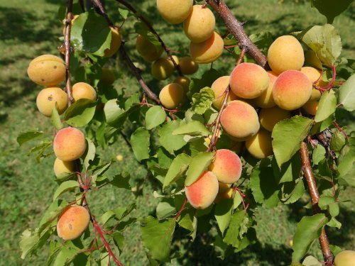 dwarf-moorpark-apricot-fruit-tree-2-3-tall-1-each-plus-bonus