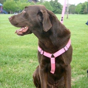 "1"" Medium Pink Hemp Corduroy Harness -  The Good Dog Company, 701-207"