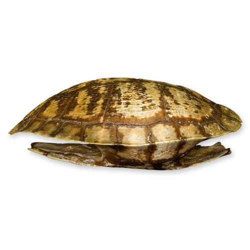Real Pond Turtle Shell by Skulls Unlimited International