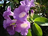 Garlic Vine Seeds, Mansoa alliacea, Purple Flower, Plant Seed Rare From Thai