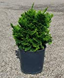 Dwarf Hinoki Cypress 'Nana' - Miniature Evergreen Shrub - 3 Gallon Pot