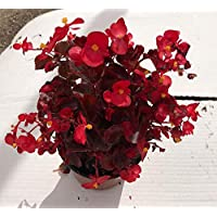 Begonias ELATIOR Pack 6 Plantas Distintos colores -Planta Natural -Planta Jardín- Pack 6 Plantas - 14 cm ø - Vipar…