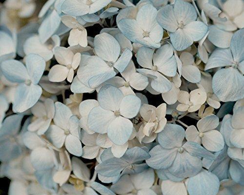 Pale Blue Hydrangea Art Print, Large Photography Print, Pastel Flower Decor, Flower Wall Art, French Country Decor, Cottage Chic Decor, Aqua, Ivory Cream Artwork