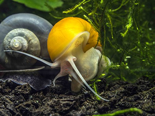3 large 1 2 to 2 inch golden mystery snails algae for Garden pond snails