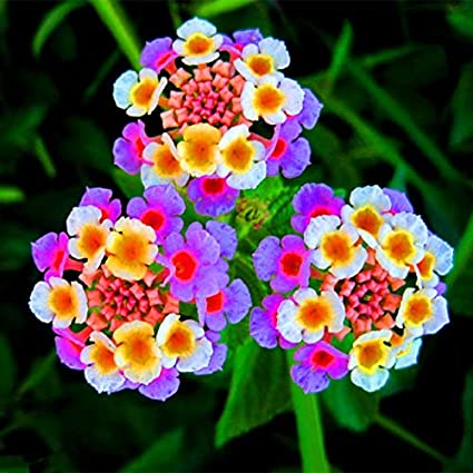 2b591306c4ca42 Amazon.com : New arrival!!!100 pcs/lot Lantana camara flower seeds ...