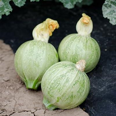 NE Seed Lucky 8 F1 Hybrid Zucchini Summer Squash Seeds