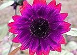 #5: 20pcs/ bag Rare Purple Sunflower Seeds Bonsai Charming Annuus Helianthus Potted Garden Flower Plant for Home Garden Planting