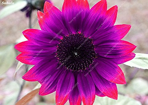 20pcs/ bag Rare Purple Sunflower Seeds Bonsai Charming Annuus Helianthus Potted Garden Flower Plant for Home Garden Planting