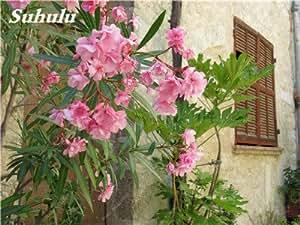 Phlox estrella del centelleo Semillas Semillas Drummondii Cuspidata Flor de interior Bonsai Semillas de flores para jardín Planta de tiesto 100 Pcs 11