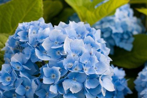 Blue Hydrangea Flower - Art Print Poster,Wall Decor,Home Dec