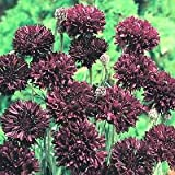 35+ Centaurea Boy Black Cornflower Bachelors Button Flower Seeds / Annual
