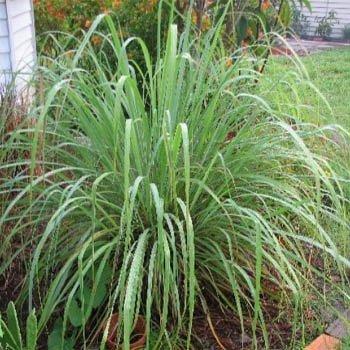 Outsidepride Lemon Grass - 1000 Seeds