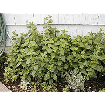 Toyensnow - Lemon Balm, Perennial Herb, Heirloom (705 Seeds) : Garden & Outdoor