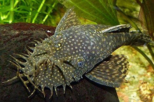 "WorldwideTropicals Live Freshwater Aquarium Fish - 4"" Bushynose Pleco Fish - 4"" Bushynose Pleco (LDA 72) - by Live Tropical Fish - Great For Aquariums - Populate Your Fish Tank! from WorldwideTropicals"
