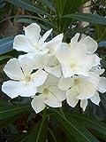 20 Seeds White Oleander (Nerium Oleander) Shrub Tree Seeds, Exotic Tree Seeds