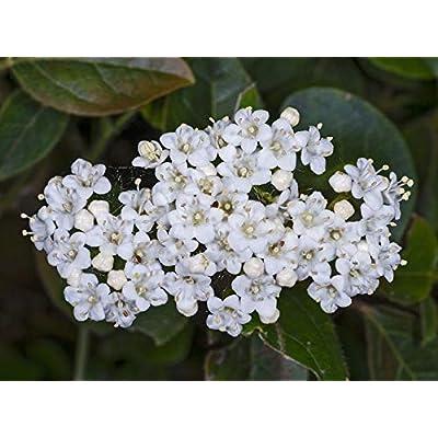 2 Viburnum Spring Bouquet : Garden & Outdoor